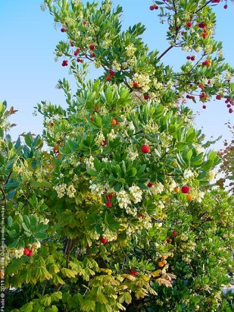 strawberry-tree3-1076